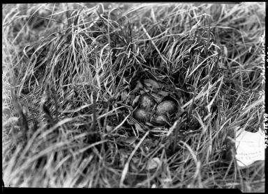 Western Sandpiper eggs