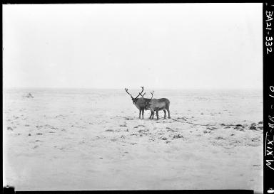 Sled reindeer