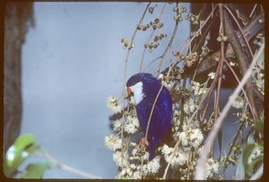Blue lorikeet (also called Tahitian Lory)