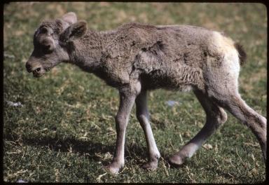 Desert Bighorn lamb, Ovis canadensis nelsoni