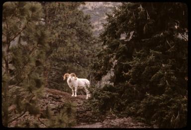 Dalls's Sheep (or Dall Sheep)