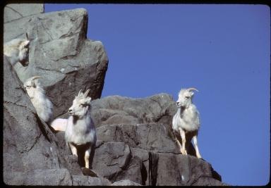 Female Dalls's Sheep (or Dall Sheep)