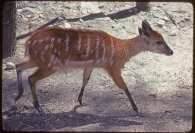 Female Sitatunga