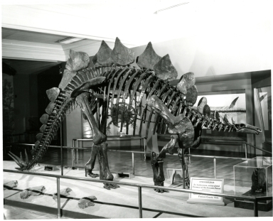 Articulated Stegosaurus Skeleton