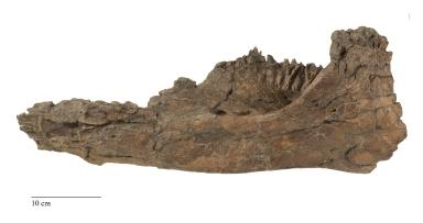 Parasaurolophus Jaw