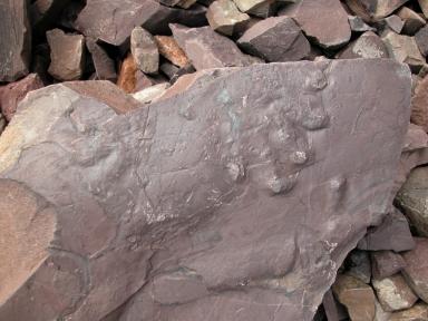 Ichnogenus Ichniotherium at Gast Footprint Site