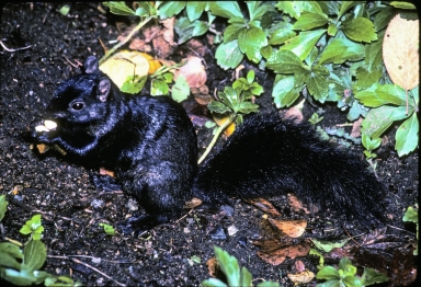 Melanistic Eastern Gray Squirrel