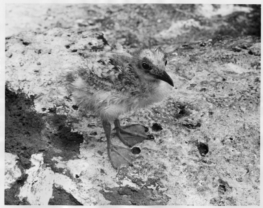 Swallow-tailed Chick