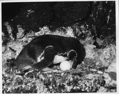Galapagos Islands Penguin
