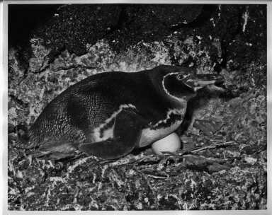 Galapagos Islands Penguin