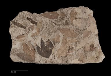 Fossil leaf