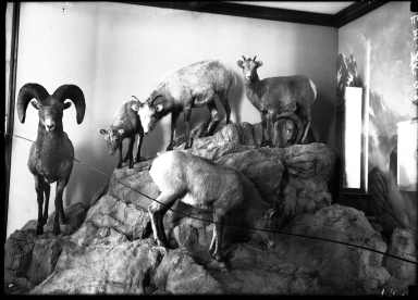 Old Big Horn Sheep Group