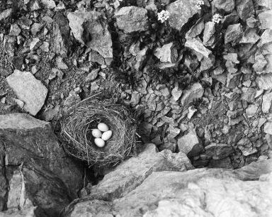 Nest with Eggs