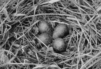 Phalarope Nest