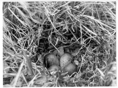 Sandpiper Nest