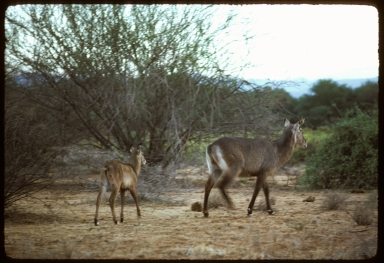 Common Waterbuck with calf