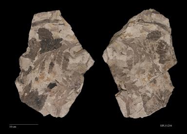 Onoclea hesperia, fossil leaf