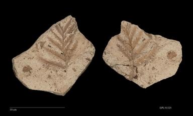 Polypodiopsida, Fossil leaf