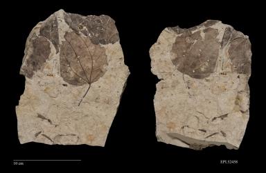 Cercidiphyllum arcticum, Fossil leaf