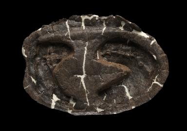 Turtle shell, Hoplochelys.