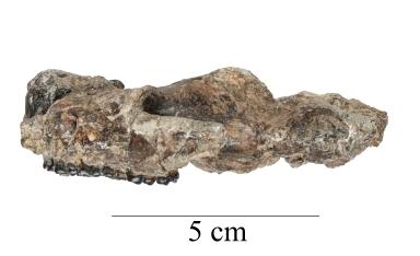 Baioconodon denverensis skull