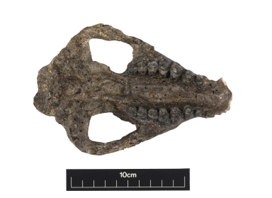 Carsioptychus coarctatus skull