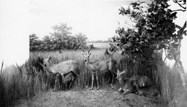 Pampas Deer group