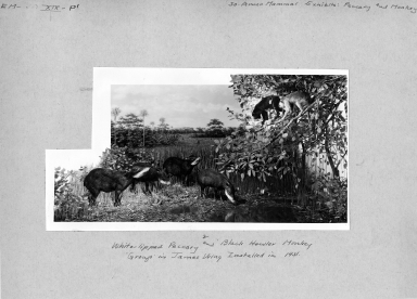 Peccary and Howler Monkey Group