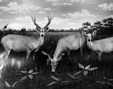 South American Marsh Deer Group