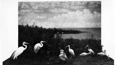Scarlet Ibis and American Egrets Group