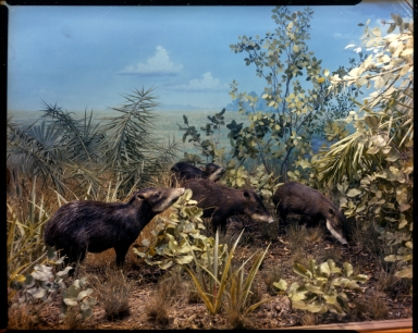 White-lipped Peccaries in South America diorama