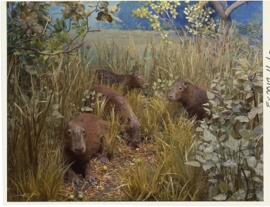 Capybara in South America diorama