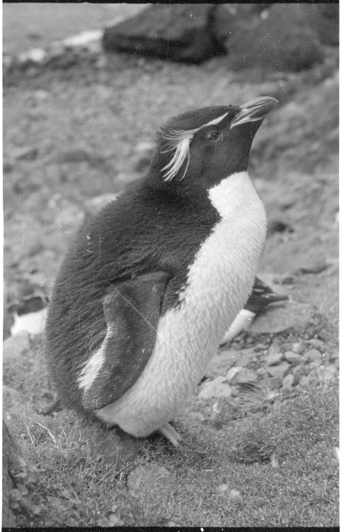 Rockhopper penguins on Campbell Island