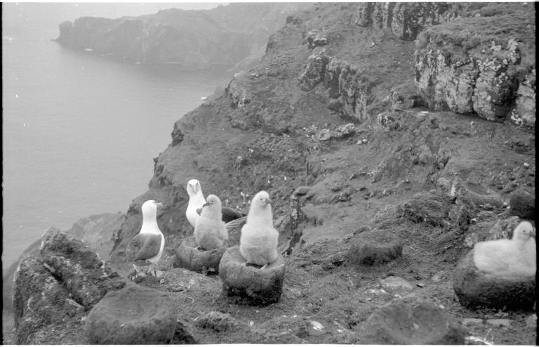 Black-browed albatross chicks on Campbell Island