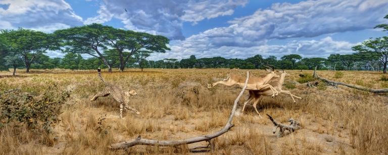 Cheetah-Impala diorama