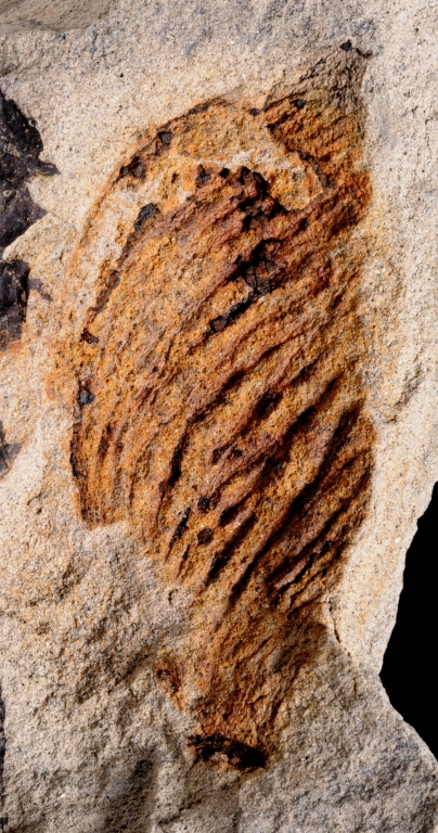 Fossil Leaf From Castle Rock, Colorado