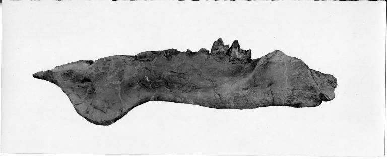 Uintacolotherium blayneyi mandible