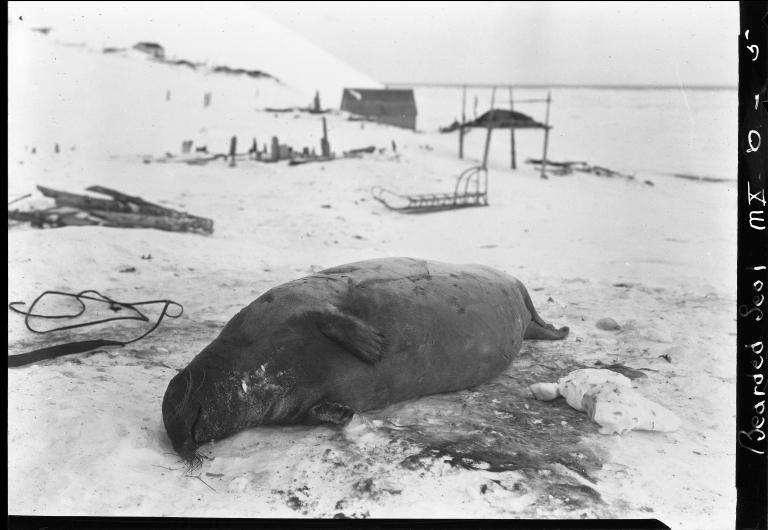 Bearded Seal specimen
