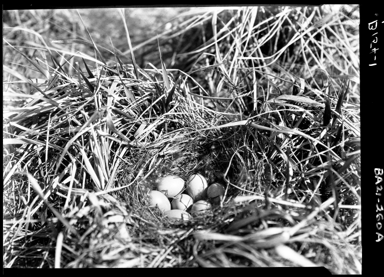 Old Squaw eggs