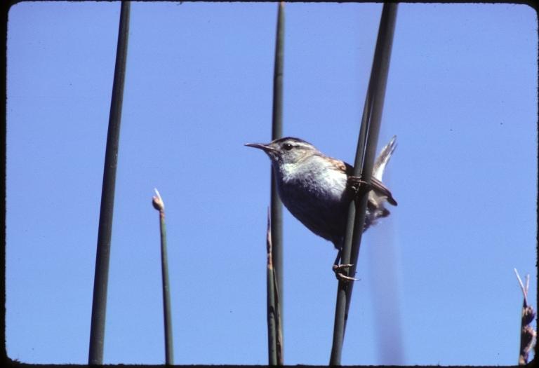 Long-billed Marsh Wren