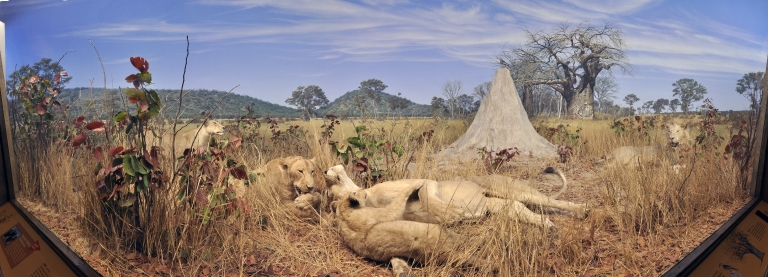 Pride of Lions Diorama in Botswana Hall