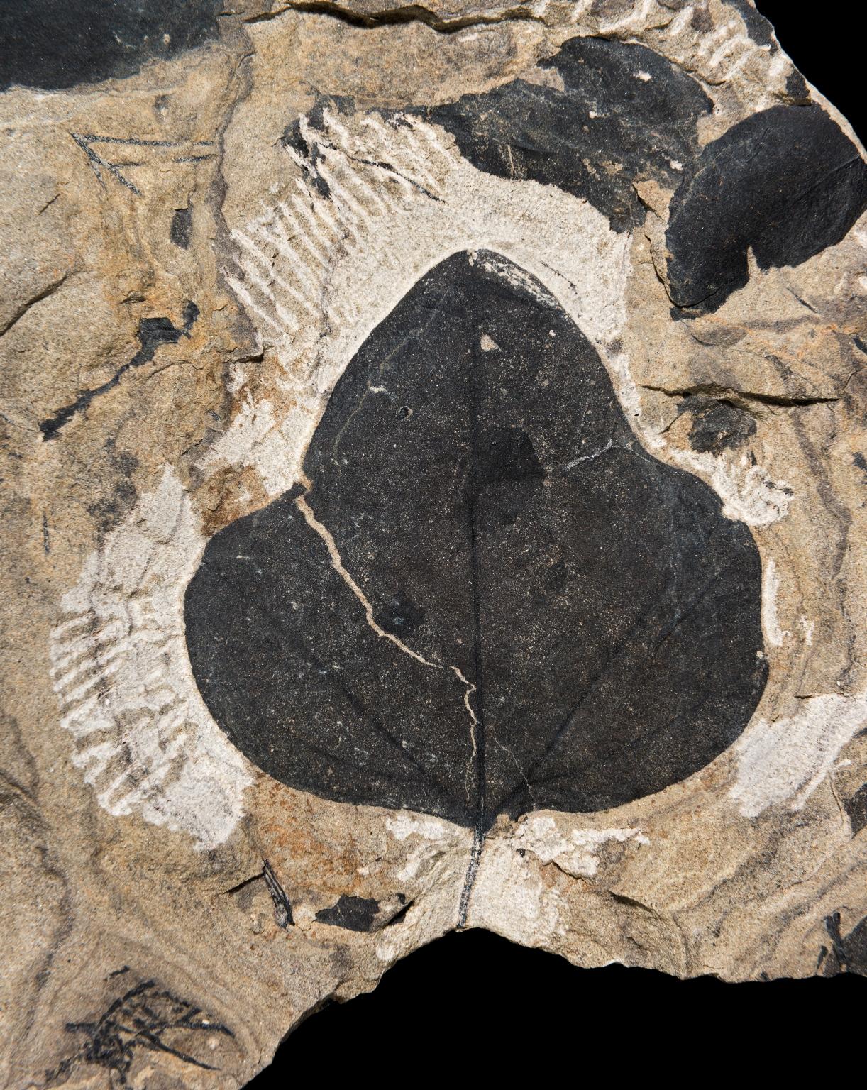 Menispermites reniformis Fossil Feaf