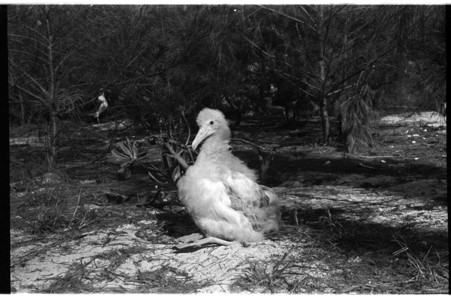 Albino black-footed albatross