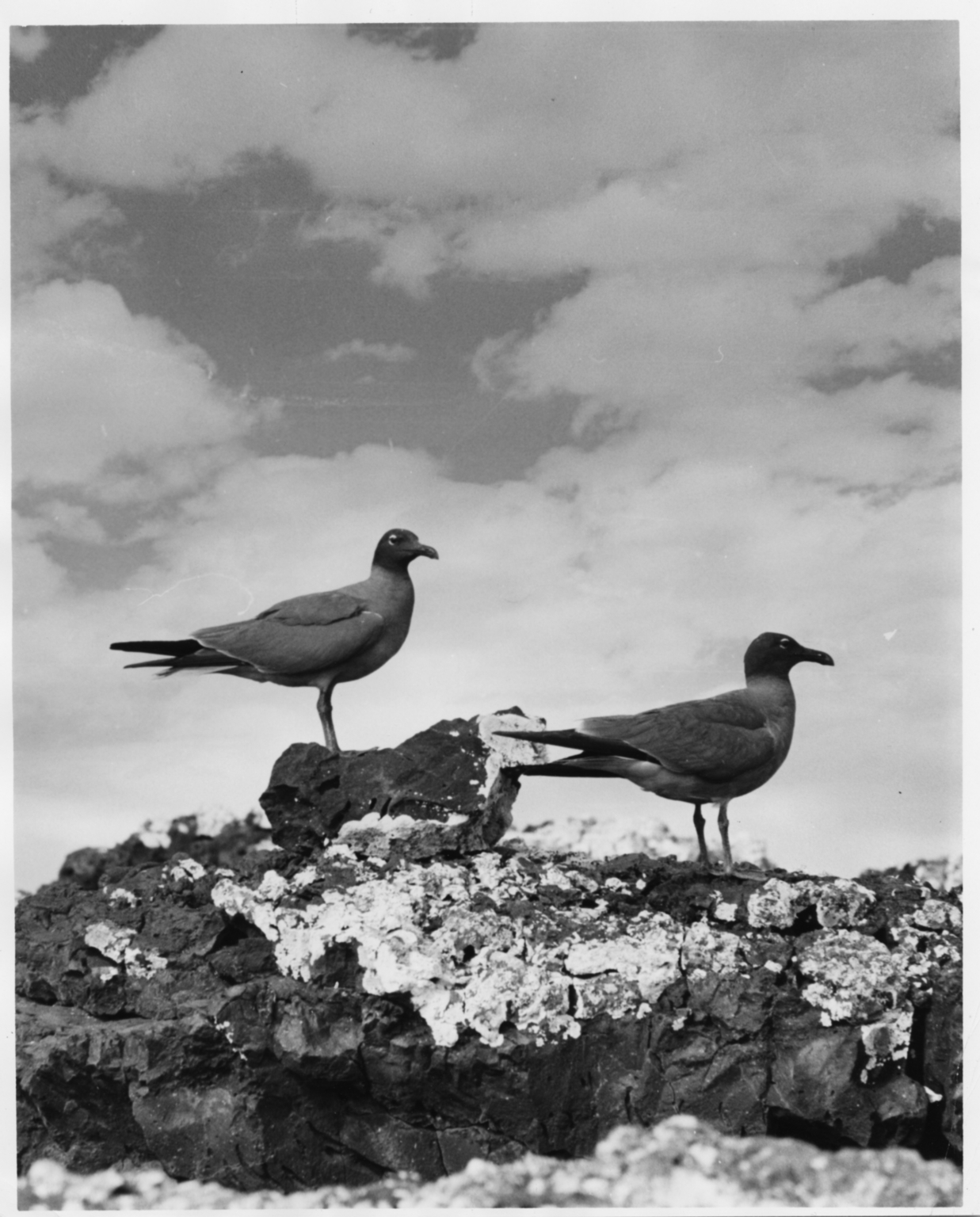 Two Sooty Gulls
