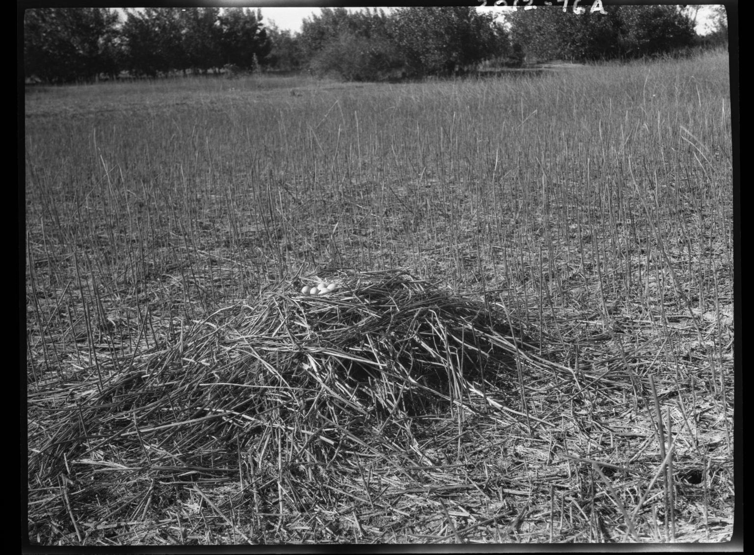 Black-crowned night heron nest