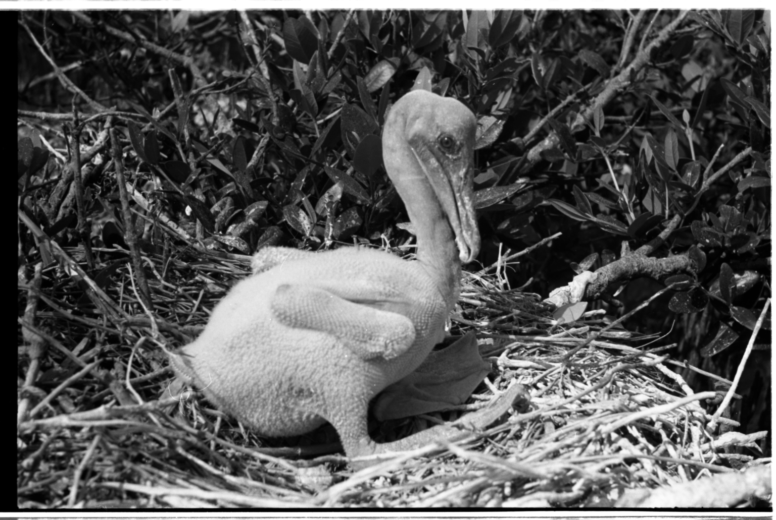 Pelican Nest and Nestling