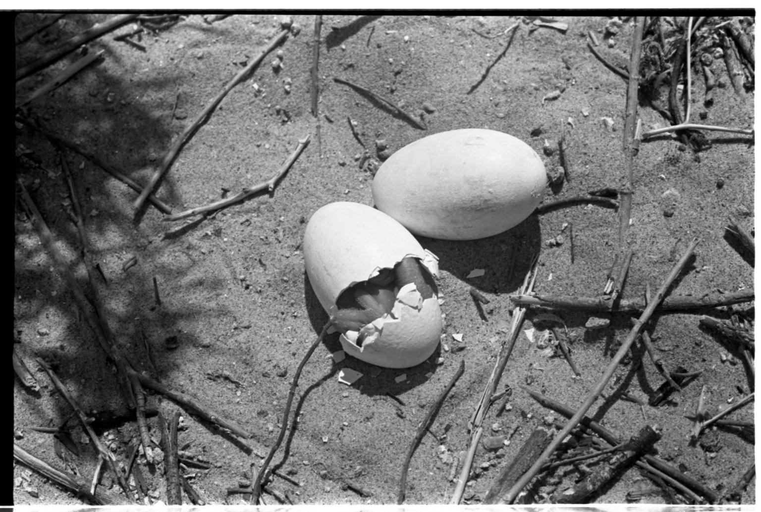 Pelican Egg Hatchling