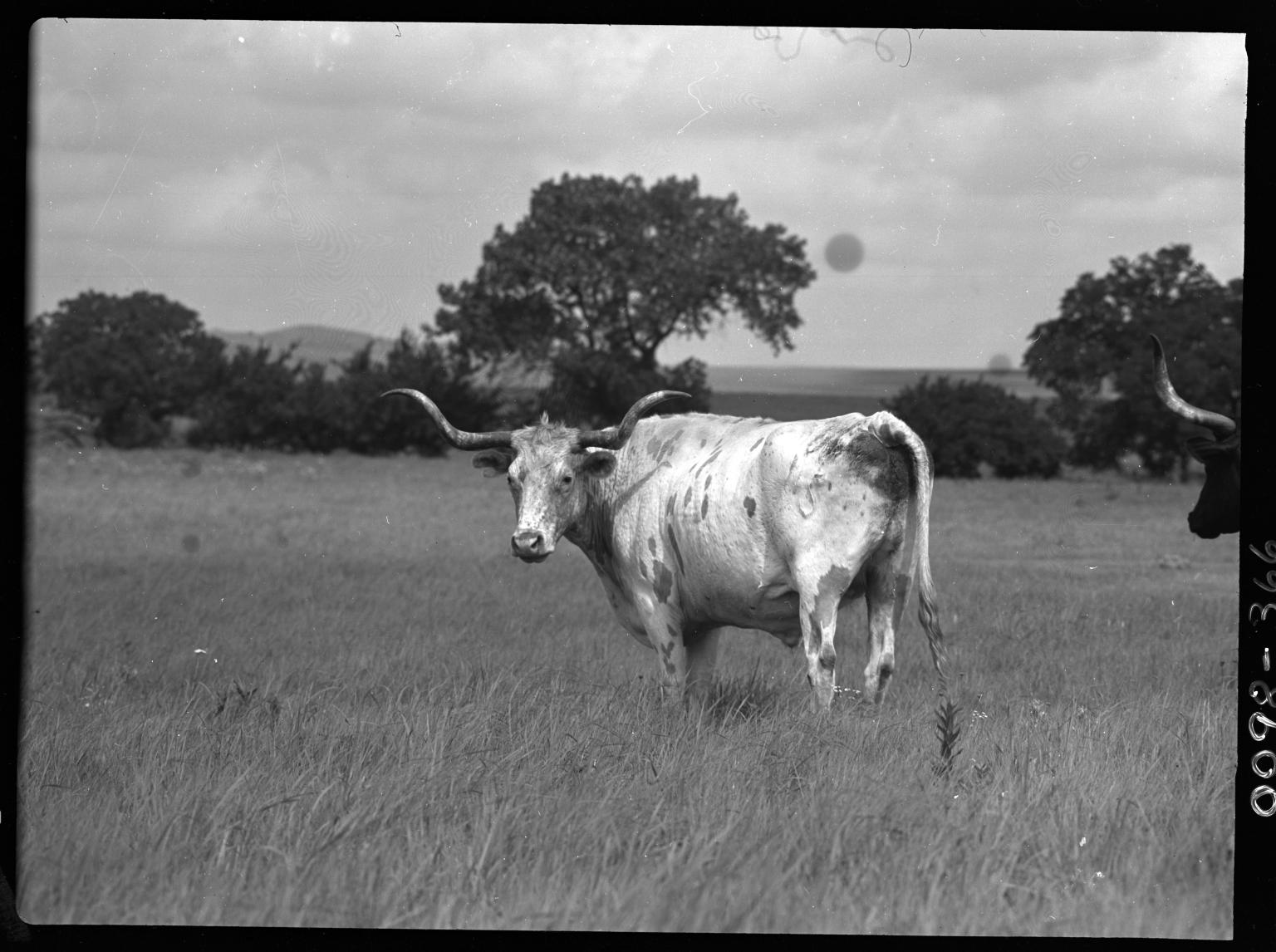 Tesax Longhorn Cattle