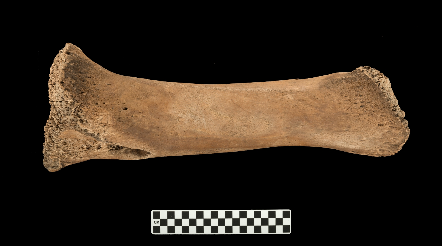 Mammuthus columbi skeleton