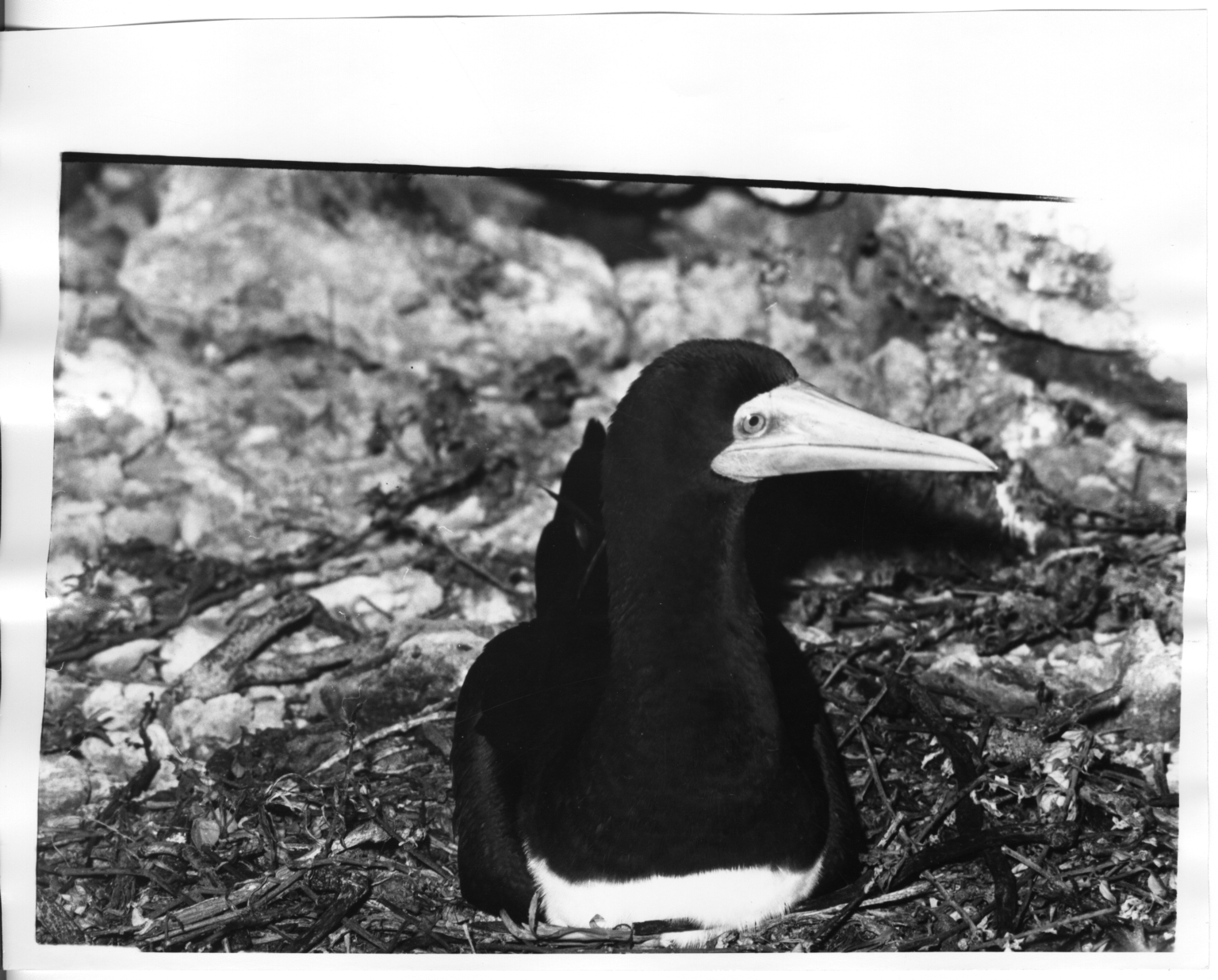 Brown Booby and eggs